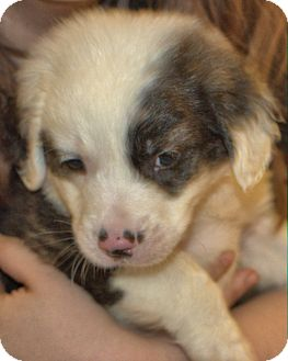 Retriever (Unknown Type)/Australian Shepherd Mix Puppy for adoption in Cumming, Georgia - Teddy