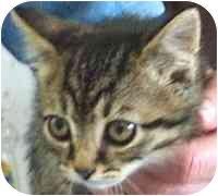 Domestic Shorthair Kitten for adoption in Republic, Washington - D'Artagnan