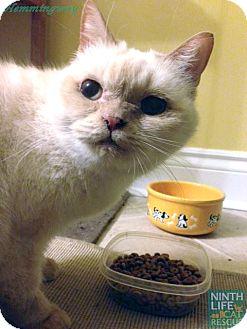 Domestic Mediumhair Cat for adoption in Oakville, Ontario - Hemingway