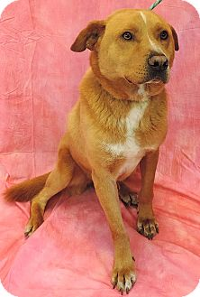 Chow Chow/Labrador Retriever Mix Dog for adoption in Sioux City, Iowa - HAMLET