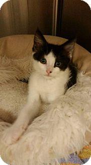 Domestic Shorthair Kitten for adoption in Carrollton, Virginia - Sophie