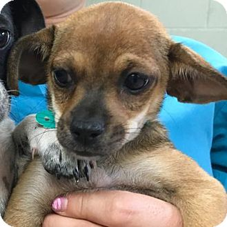 Chihuahua Mix Puppy for adoption in Visalia, California - Ivy