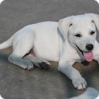 Adopt A Pet :: *Sparrow - PENDING - Westport, CT