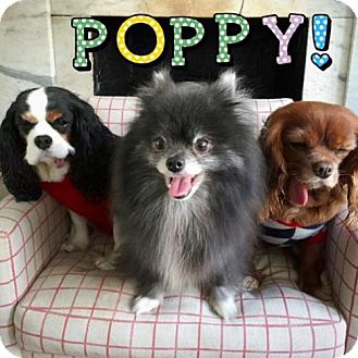 Pomeranian Dog for adoption in Manhattan, New York - Poppy