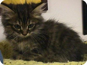Maine Coon Kitten for adoption in Fayetteville, Georgia - Itsy