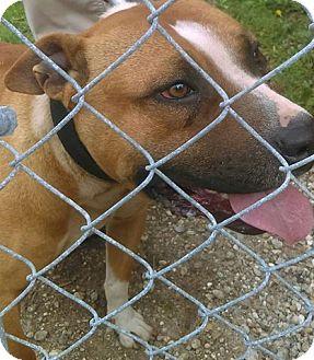American Staffordshire Terrier Mix Dog for adoption in Camilla, Georgia - Raine