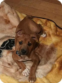 Boxer/Pit Bull Terrier Mix Puppy for adoption in Gilbert, Arizona - ROXY