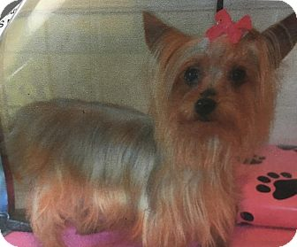 Yorkie, Yorkshire Terrier Dog for adoption in Franklin, Tennessee - Princess