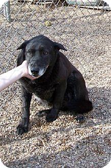 Labrador Retriever Mix Dog for adoption in Lafayette, Louisiana - DiDi