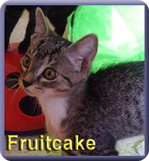 Domestic Shorthair Kitten for adoption in Aldie, Virginia - Fruitcake