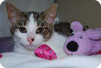 Domestic Shorthair Kitten for adoption in New Castle, Pennsylvania - Leah