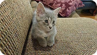 American Shorthair Kitten for adoption in Harrisburg, North Carolina - Sammy