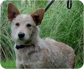 Australian Cattle Dog Mix Dog for adoption in Brenham, Texas - Sierra