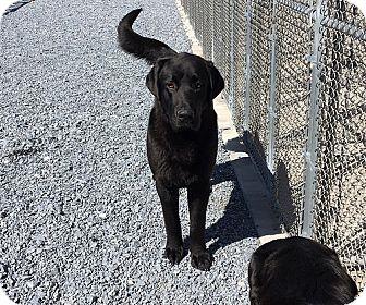 Labrador Retriever Dog for adoption in Annapolis, Maryland - Jay & Blackie