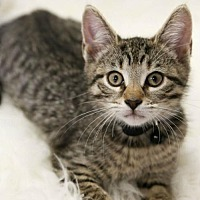 Adopt A Pet :: Tiger Male Kitten - Knoxville, TN