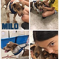 Jack Russell Terrier Mix Dog for adoption in Columbia, Tennessee - Milo