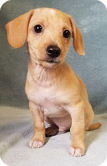 Dachshund Mix Puppy for adoption in Denver, Colorado - Zoro
