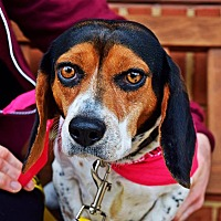 Adopt A Pet :: Lacey - Manassas, VA