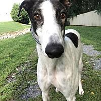 Adopt A Pet :: Phoenix - Swanzey, NH