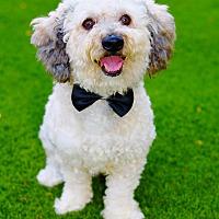 Adopt A Pet :: Baxter - Litchfield Park, AZ