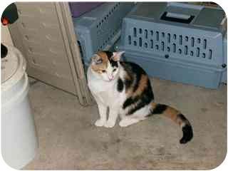 Calico Cat for adoption in Houston, Texas - Callie