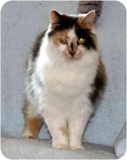 Manx Cat for adoption in Gaithersburg, Maryland - TRIXIE