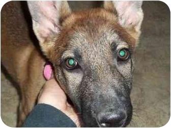Belgian Malinois Puppy for adoption in Arenas Valley, New Mexico - Sasha