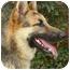 Photo 2 - German Shepherd Dog Dog for adoption in Los Angeles, California - Nessa von Nurnberg