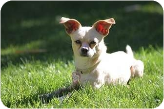 Chihuahua Mix Dog for adoption in Culver City, California - Woofie