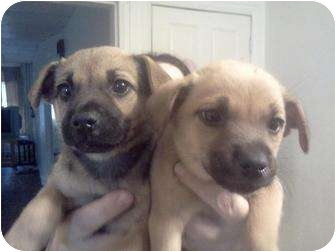 German Shepherd Dog Mix Puppy for adoption in Bel Air, Maryland - #7