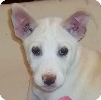 Husky/Labrador Retriever Mix Puppy for adoption in Londonderry, New Hampshire - Waneta
