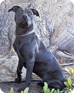 American Pit Bull Terrier Mix Dog for adoption in Santa Barbara, California - Elle