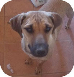 Shepherd (Unknown Type)/Hound (Unknown Type) Mix Dog for adoption in Santa Fe, New Mexico - Kyah