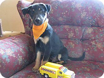 Feist/German Shepherd Dog Mix Puppy for adoption in Hartford, Connecticut - Bentley