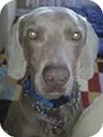 Weimaraner Dog for adoption in St. Louis, Missouri - Andy
