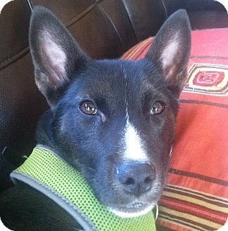 Border Collie/Husky Mix Puppy for adoption in Richmond, Virginia - Paul