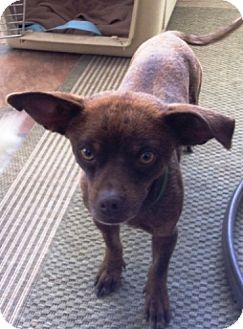 Chihuahua Mix Dog for adoption in Las Vegas, Nevada - Rudy