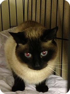 Siamese Cat for adoption in Maple Ridge, British Columbia - Jackpot