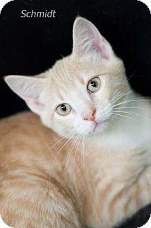Domestic Shorthair Kitten for adoption in West Des Moines, Iowa - Schmidt