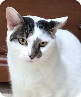 Domestic Shorthair Cat for adoption in Wayne, New Jersey - Nadia