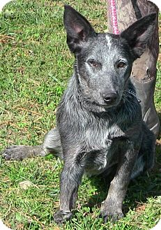 Australian Cattle Dog Puppy for adoption in Texico, Illinois - Tilley