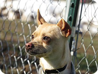 Chihuahua Mix Dog for adoption in Meridian, Idaho - Fred