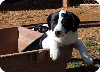 Labrador Retriever/Border Collie Mix Puppy for adoption in Hagerstown, Maryland - Maggie