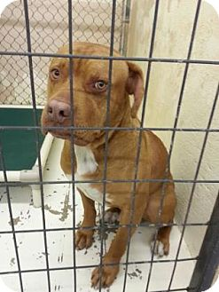 American Pit Bull Terrier Mix Dog for adoption in Divide, Colorado - Bronco