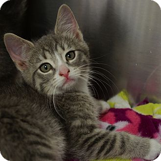 Domestic Shorthair Kitten for adoption in Naperville, Illinois - Moon