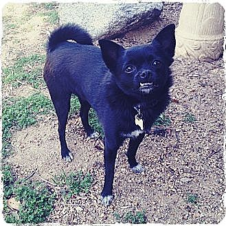 Chihuahua/Terrier (Unknown Type, Small) Mix Dog for adoption in Tujunga, California - PIGLET