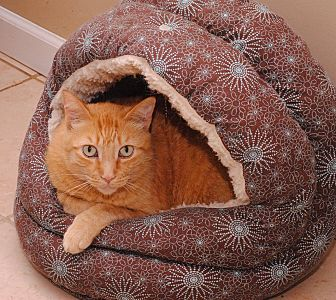 Domestic Shorthair Cat for adoption in Middletown, New York - Ozzy