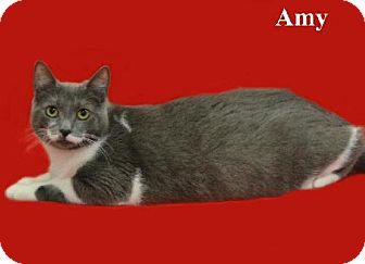 Domestic Shorthair Cat for adoption in Green Cove Springs, Florida - Amy