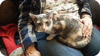 Calico Cat for adoption in Warren, Michigan - Melody