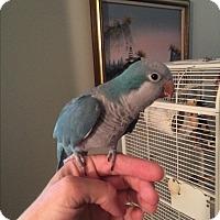 Adopt A Pet :: Fluffy - St. Louis, MO